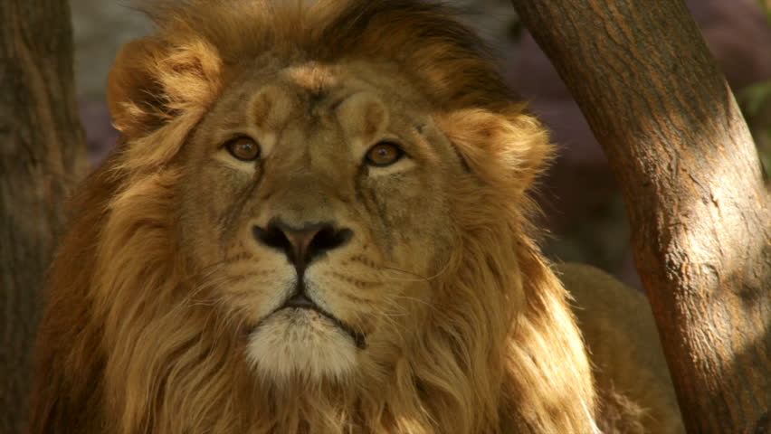 8k Animal Wallpaper Download: The Sunny Face Close Up Of A Shaggy Drowsy Lion On The