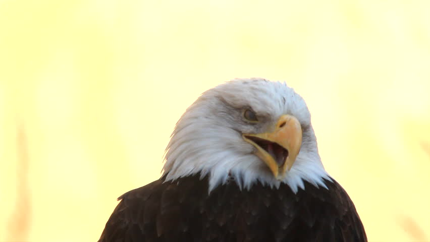 Yawning and look down of expressive bald eagle close up, haliaeetus leucocephalus, on light yellow background. American eagle, US national character. Excellent beauty of wildlife in amazing HD clip.