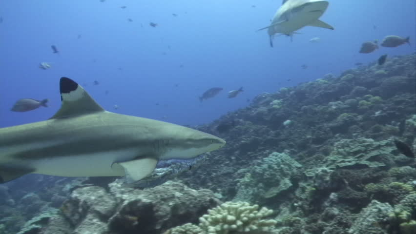 Shark Swimming underwater with fish in mouth - HD stock footage clip