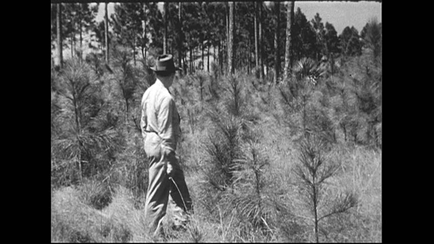 UNITED STATES 1940s: Man walks through field of young trees. - HD stock footage clip
