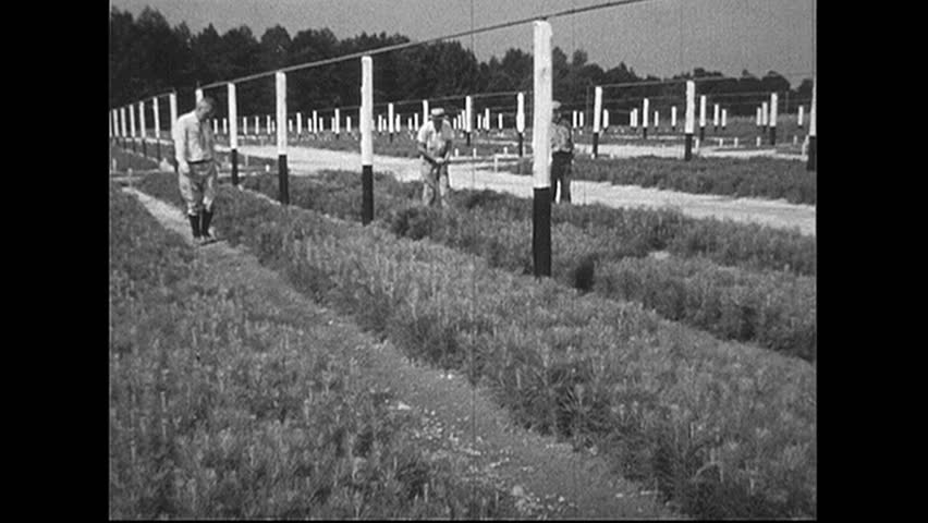 UNITED STATES 1940s: Men walk through tree farm / Rows of saplings / Close up of hand touching sapling / Men plant trees.
