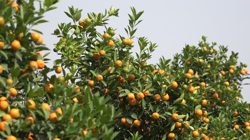 Ultra HD 4K Orange Fruits in Orchard, Fresh Juicy Tropical Citrus Fruits in Tree