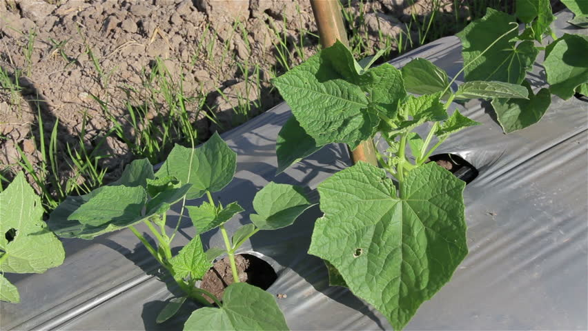 Vegetables are growing on the farm .