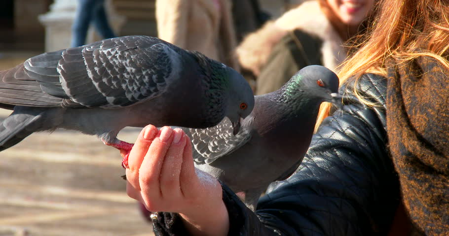 Close up on birds fed in hand by woman on St Mark's Square in Venice, shot by 4K Sony Z100 camera - 4K stock video clip
