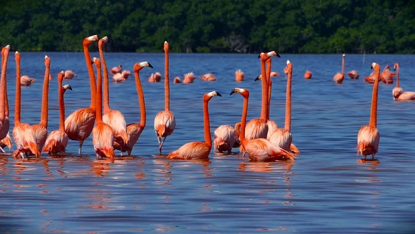 Flock of Pink Flamingos in Celestun, Mexico  Flock of pink flamingos in a nature reserve of Celeste, Mexico. - 4K stock video clip