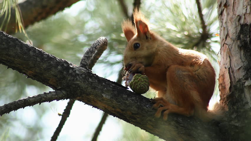 A grey Squirrel sits in a tree eating a nut. - HD stock footage clip