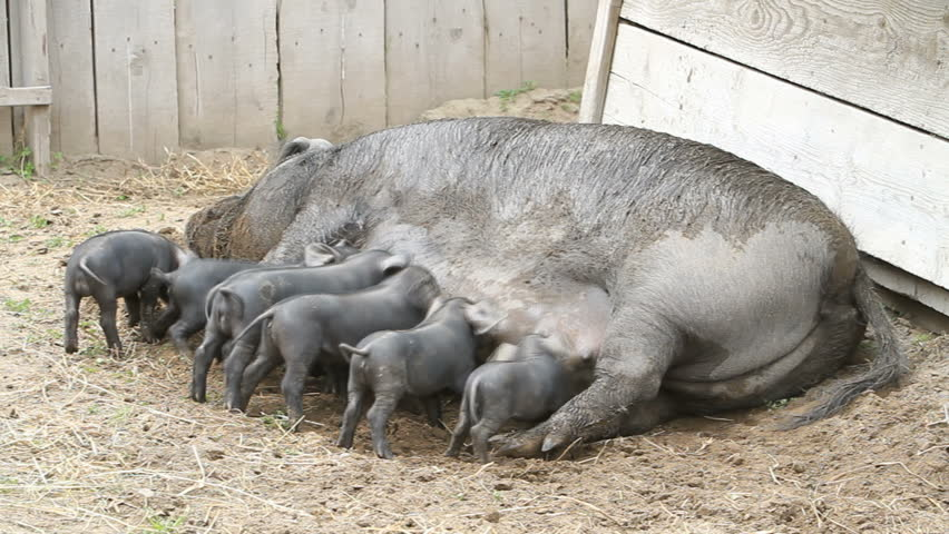 Young baby pigs running and eating on mother sow as she lays on ground, fast motion time-lapse. The piglets are fighting over her nipples for nourishment and food. Very large female pig sow. Farm - HD stock footage clip