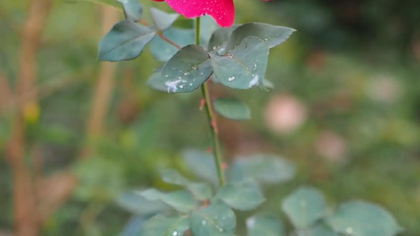 Pink rose | Shutterstock HD Video #8959261