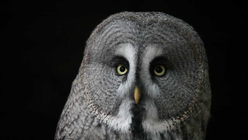 Great gray owl - HD stock video clip