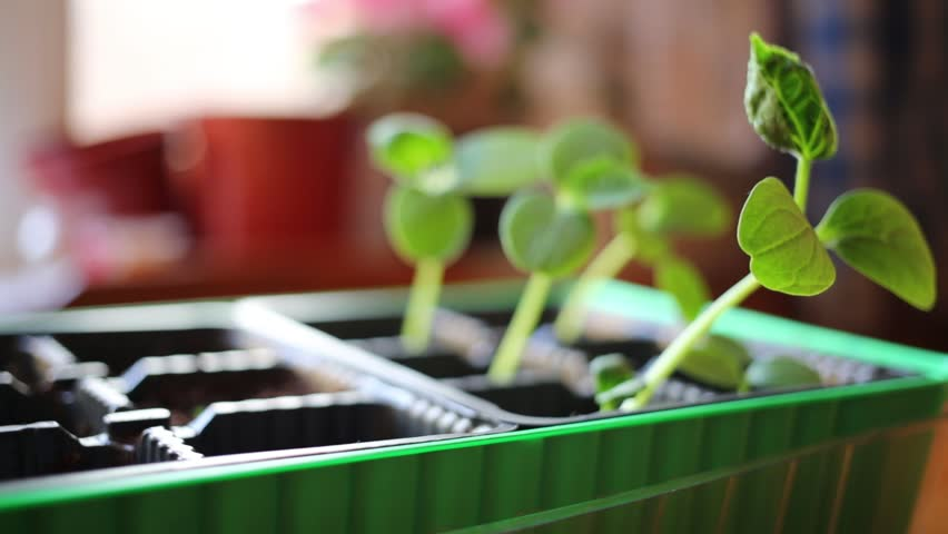 Green fresh cucumber sprouts growing in plastic pots filled with soil.