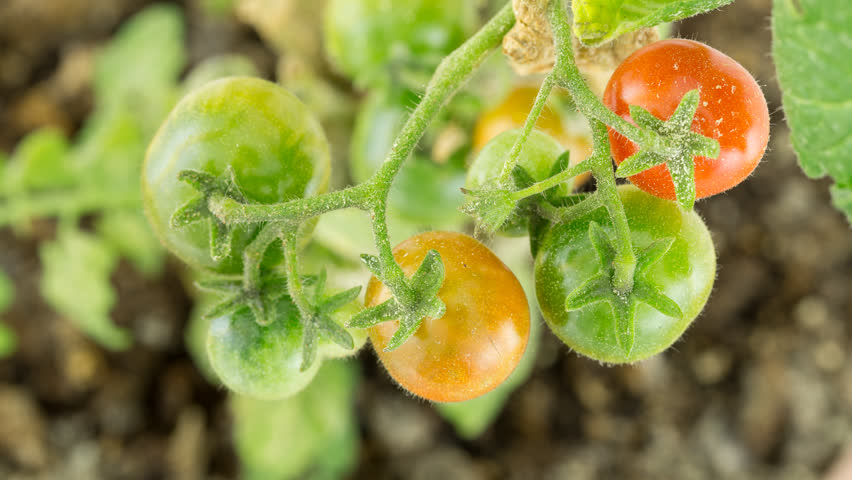 Closeup of Dirty Branch with several tomatoes ripening time lapse
