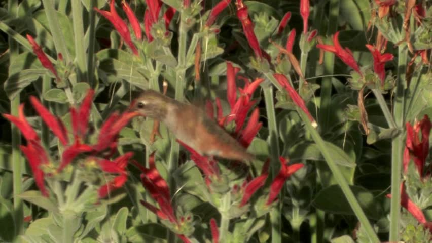 Header of Allen's Hummingbird