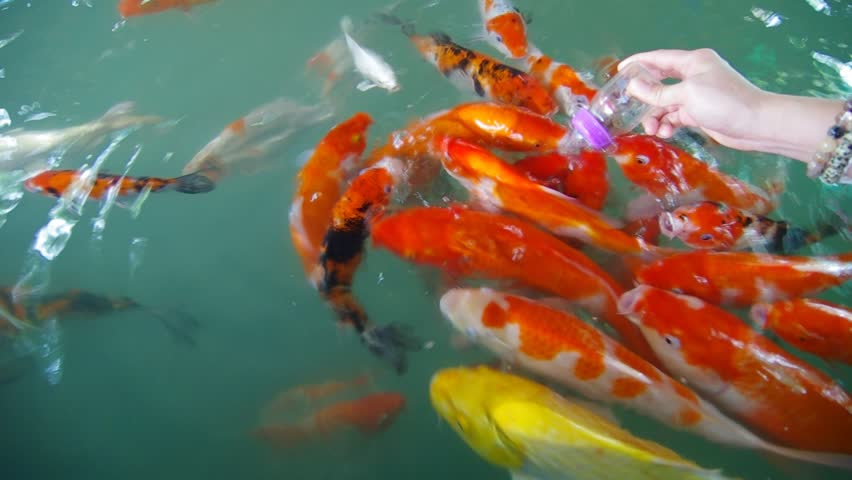 Beautiful koi fish in a pond stock footage video 3854138 for Golden ornamental pond fish crossword
