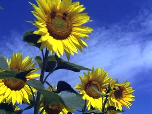 tall sunflower definition meaning. Black Bedroom Furniture Sets. Home Design Ideas
