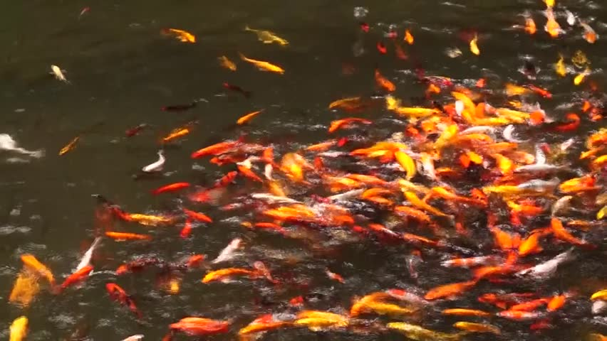 Pond with beautiful and colorful species of carps stock for Koi fish species