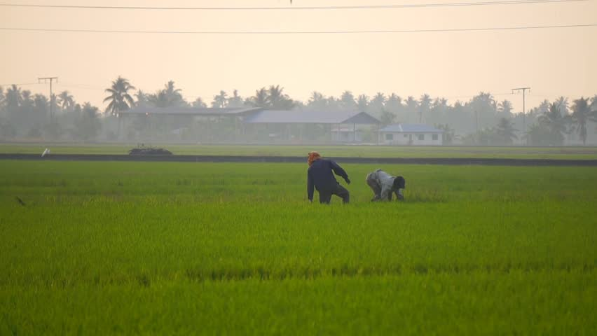 Farmers working at Malaysian paddy fields.