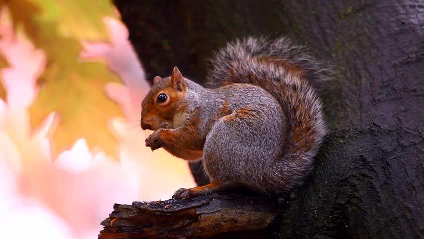 Squirrel in Autumn - HD stock video clip