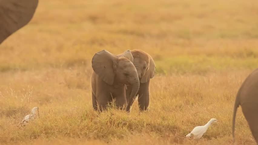 Wild baby elephant playing