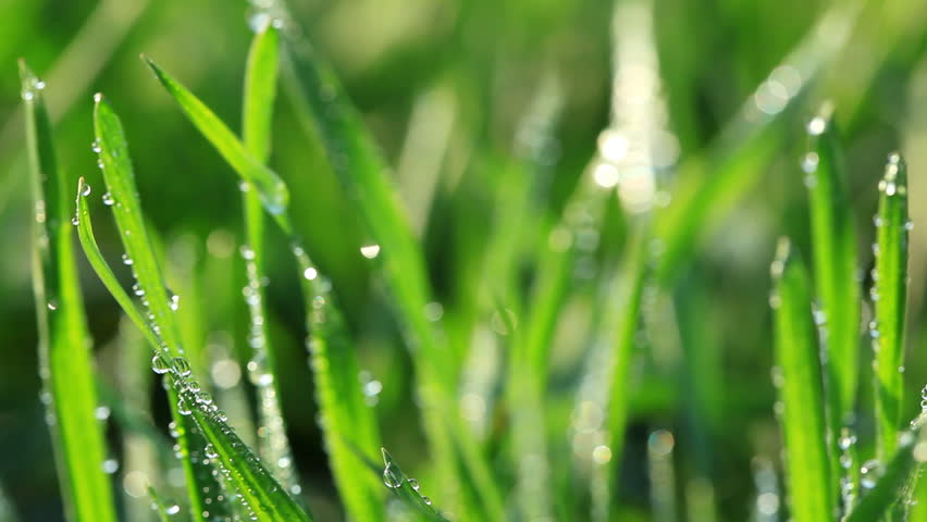Fresh green grass with dew drops. Morning summer scene. Macro - HD stock footage clip