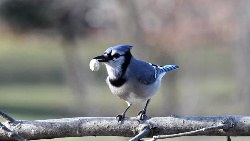 A Blue Jay shelling and eating a peanut. - SD stock video clip