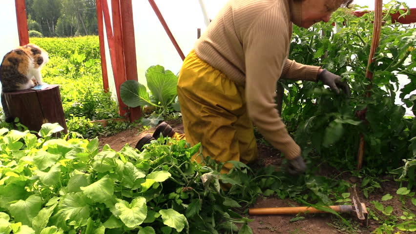 Grandmother woman on her knees weed tomatoes plants in greenhouse. Cat sit on wooden stump. Panorama shot on Canon XA25. Full HD 1080p. Progressive scan 25fps. Tripod. - HD stock footage clip
