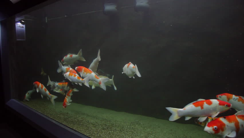 1920x1080 hidef hdv japanese carps fish in big pond for Carp in a fish tank