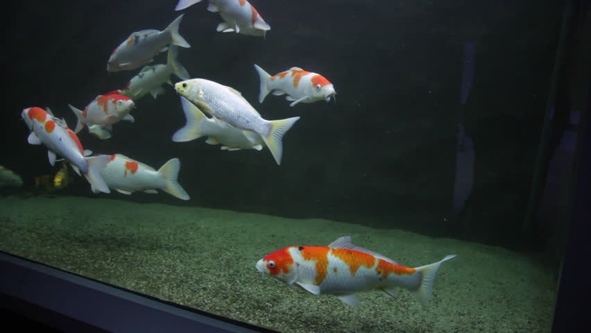 Koi fish footage page 9 stock clips videos for Carp in a fish tank