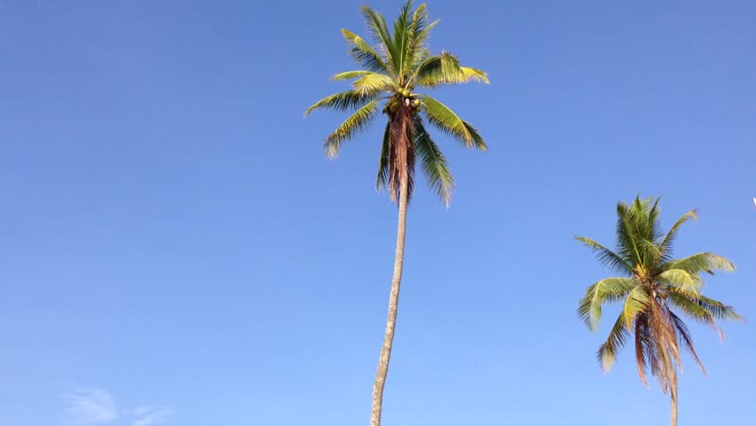 Coconut Palm Trees Against Blue Sky. Slow Motion. HD