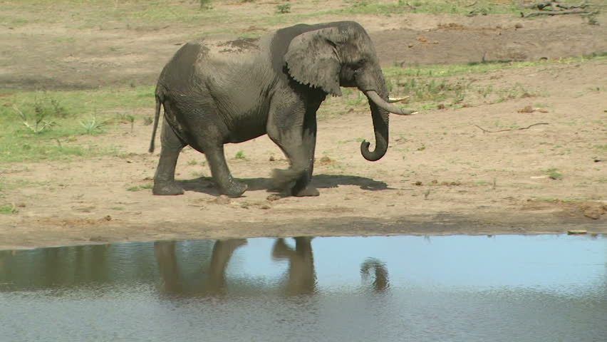 Reflection of Bull Elephant arriving to drink