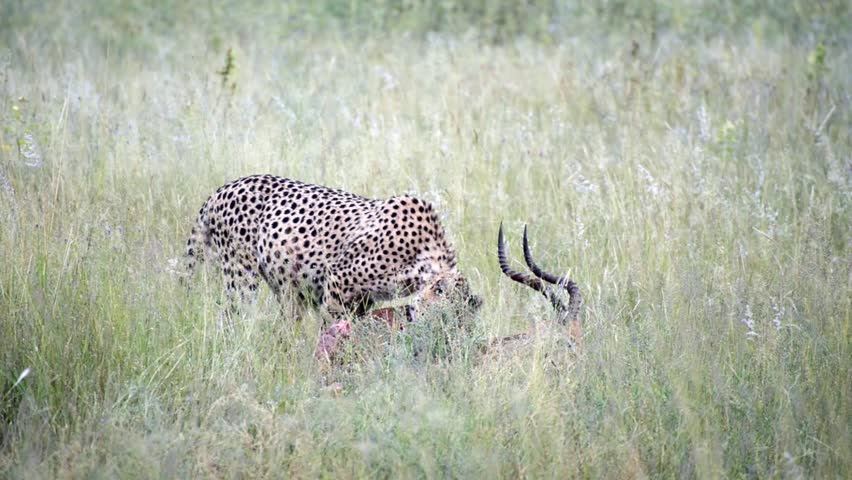 A cheetah in the wild eating and dragging its fresh catch, an impala - HD stock video clip