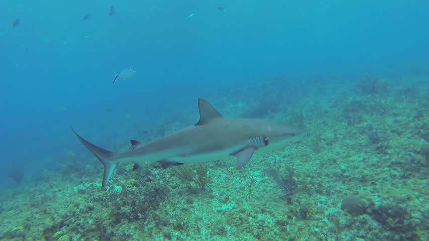 Beautiful full HD footage of a Caribbean reef shark (Carcharhinus perezii) in the Bahama's - HD stock footage clip