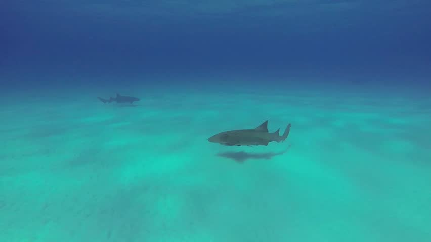 Beautiful full HD footage of Nurse sharks (Ginglymostoma cirratum) in the Bahama's - HD stock video clip