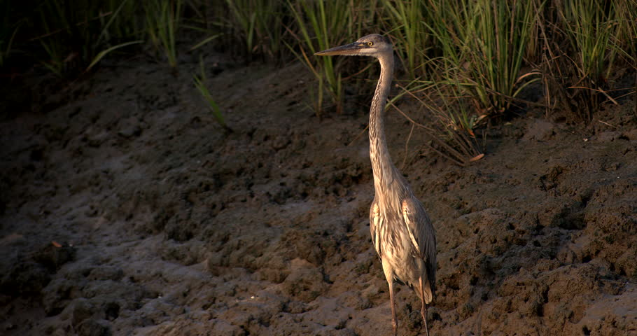 Dramatic shot of Great Blue Heron at golden hour light in wetlands. - 4K stock footage clip