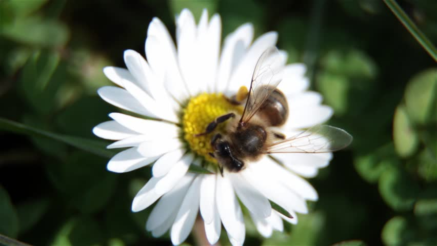 Close Up Of Bee On The Daisy Flower, A Bee Collects Nectar In The Daisy Flowers And Fly Away, Bee Pollinating A Flower. Breeze Moves The Petals Of A Flower. Bees Are Flying Insects - HD stock footage clip